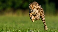 Video - Greg Wilson: Cheetahs on the Run (National Geographic)