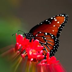 What a wonderful #insect #photograph Queen Butterfly by Penny Lisowski - Artist #fineart #decor #butterfly
