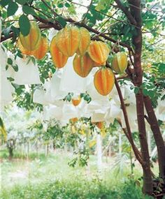 My heart is like an appe-tree whose boughs are bent with thickset fruit