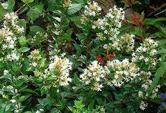 Chinese Abelia | Abelia chinensis | from Jewel Lynn's yard