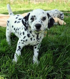 Dalmatian puppies are born completely white and develop their spots over time! | 33 Awesome Facts About Dogs