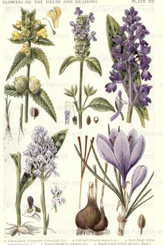 Antique botanical drawing of Lavenders