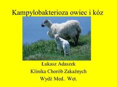 Kampylobakterioza owiec i kóz>