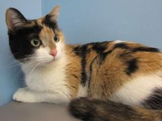 This beauty is Shakira! She's a lovely little kitty looking for the purrrfect home. Shakira can be a bit shy at first, so she would appreciate a new home that gives her plenty of time to adjust. Due to her timid nature, we recommend a home with older, cat savvy kids, if any. Shakira loves having her soft fur brushed and combed and gives sweet head butts to show her affection. We don't know much about her past, so any introductions to other animals should be taken with care. Get to know this…