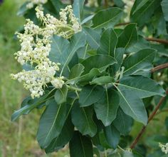 Arbutus menziesii / Madrone leaves and flower