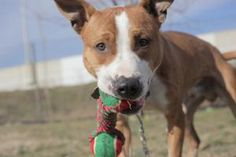 Skeet (Playful, Energetic Pooch) is an adoptable Pit Bull Terrier Dog in Jersey City, NJ. Hi, I'm Skeet and I'm a fun, playful one year old pooch. If you're looking for an energetic, social dog, then ...