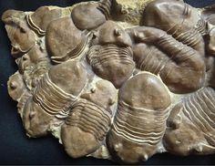 Trilobite Multiplicity