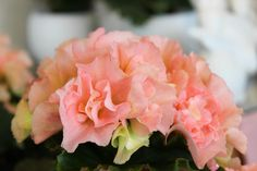 #Begonien in zartem rosé