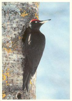 PK0400. Suomi - Finland. Palokärki (Dryocopus martius). Spillkraka - Black Woodpecker Schwarzspecht.