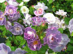 ブルー フォー ユー:バラの家>中輪・強香・四季咲き・樹高1.4m~1.5m・樹勢は強い。寒冷地や半日陰の場所の方がより一層鮮明。数輪の房咲きになり、花付きがとても良い品種です。耐病性に優れ、初心者でも育てやすい品種。