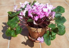 Plantas de decoración que aguantan el frío en invierno: Violeta persa en maceta