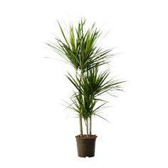 IKEA - DRACAENA MARGINATA, Potted plant
