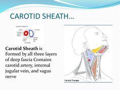 Carotid sheath... | Triangles in anatomy | Pinterest | Med school