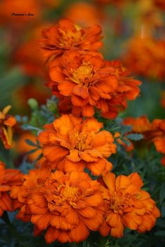 Chronicles of a Love Affair with Nature Magical Photography, Orange You Glad, Love Affair, Marigold, Yellow Flowers, Flower Power, Garden, Nature, Plants