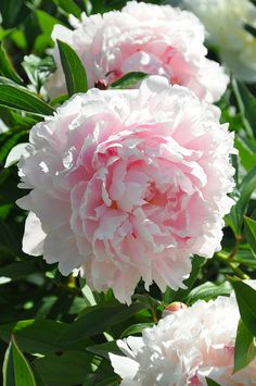Pink Sarah Bernhardt - Paeonia lactiflora