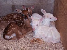 Baby regular fawns and two albino fawns.   How adorable.