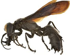 Megalara garuda male.  Credit: Dr. Lynn Kimsey, Dr. Michael Ohl