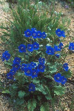 california native flowering plants | Erythronium californicum is a species of flowering plant in the family ...