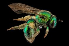 Beyond Black and Yellow: The Stunning Colors of America's Native Bees. This is Augochloropsis metallica. Isn't she lovely?