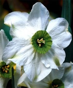 Narcissus Sinopel - Small Cupped Narcissi - Narcissi - Flower Bulbs Index