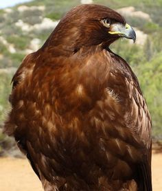 Red Tailed Hawk; messenger of Spirit, visions, seeing above mundane, bigger picture