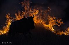 BBC Wildlife Photographer of the Year 2014 - Adult Awards, Mammals - Finalist: 'Fleeing the flames' by Greg du Toit.