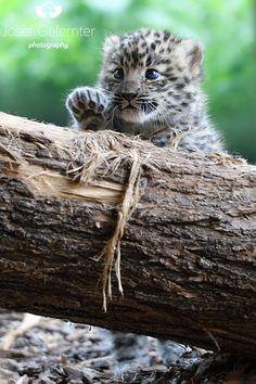 Amur Leopard Cub Pretty Animals, Cute Little Animals, Cute Cats And Kittens, Big Cats, Beautiful Cats, Animals Beautiful, Animals And Pets, Funny Animals, Wild Animals
