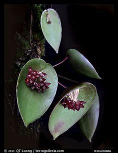 Acronia nipterophylla. A species orchid (color)