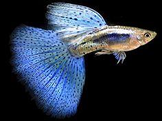 Neon blue guppy fish