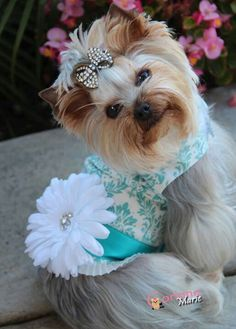 I personally support adoption but this lady has the most beautiful Yorkies and she loves taking pictures of them...I love my Yorkie baby <3