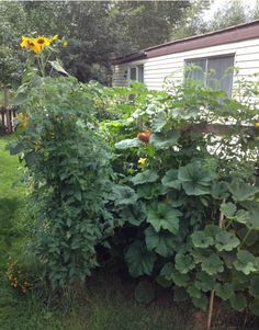 Growing 10 Foot Tall Tomato Plants In Straw Bales