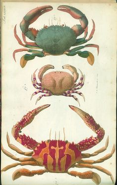 From The Natural History of Crabs and Lobsters Johann Friedrich Wilhelm Herbst (1743-1807)