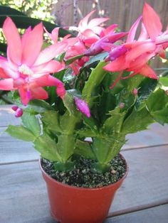 Christmas Cactus: How to Grow and Care for Christmas Cactus - Garden Lovers Club