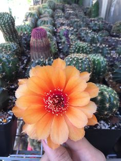 Lobi size 5cm hoa cam y hình: 60k  #cactus #cacti #cactii #cactilove #succulents #succulent #succulove #lobi #lobivia #flowers #erialshop #saigon #tphcm #xuongrong #pink