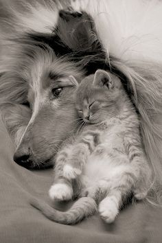 Forty-something years ago, we adopted a   collie named Lad.  We then adopted a kitten who was similarly colored, and named her Lassie.  They used to cuddle up together, and my mother swears that the dog tried to purr.  This picture reminds me of them.
