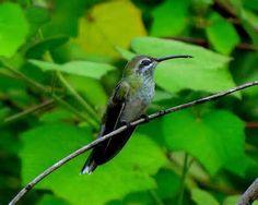 beija-flor-de-bico-curvo_Polytmus guainumbi_Brazilian Birds