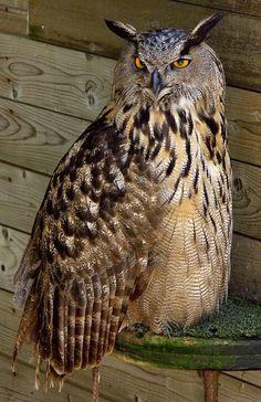 El Duc / Eurasian Eagle-owl