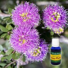 Honey Myrtle Essential Oil (Melaleuca teretifolia) for aromatherapy, skin care and natural perfumes. Tinderbox: supplying pure essential oils since Myrtle Essential Oil, Pure Essential Oils, Honey And Lemon Drink, Blue Glass Bottles, Melaleuca, Growing Tree, Geraniums, Herbalism, Fragrance