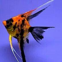 Koi angel Tropical Aquarium, Tropical Fish, Parrot Fish, Cool Fish, Freshwater Aquarium Fish, Tanked Aquariums, Discus, Water Life, Angel Fish