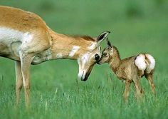 Pronghorn Antelope mom and baby., via Flickr.
