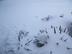 Greta Schwartz, Harrisonburg 	 Yucca plants. Kinda look like porcupines in the snow. #WHSVsnow