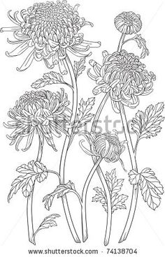 Monochrome black and white curly japanese chrysanthemum flowers with blossoms and leaves. Isolated on white background, vector graphic drawing. Cool for design, tattoos.