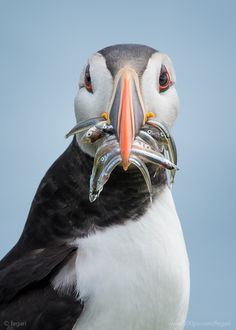 We love Sushi by fegari . on Puffin Wow Image, Feathered Dinosaurs, Wild Creatures, Animal 2, Stunning Photography, Cute Birds, World Best Photos, Ocean Life, Beautiful Birds