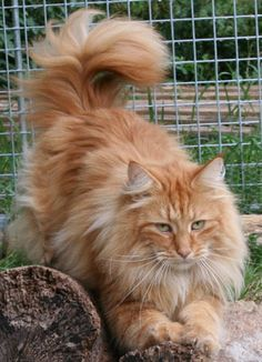 HE is a gorgeous cat!!. http://www.mainecoonguide.com/maine-coon-personality-traits/