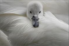 Cygne,Confort et chaleur by jd.echenard on Flickr.
