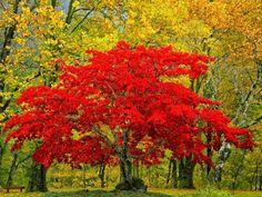 Intenso color de otoño La época del año con más color, en los árboles de hoja caduca, es el otoño.   Los árboles se preparan para el invie...