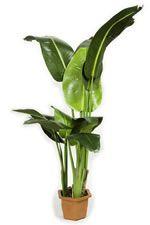Plante exotique int rieur kentia howea forsteriana - Plante tropicale d interieur ...