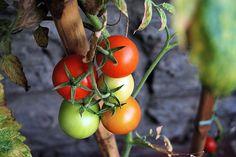 WTS ∙ Fresh salsa for tomato garden