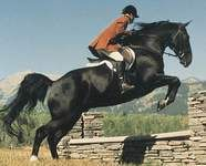 Tennessee Walker jumping, I wanna be in that saddle!!!!