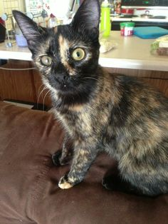 """Vote for my kitty! Peppermint, adopted from Almost Home Humane Society – Lafayette, IN: """"Peppermint is spunky, playful, and definitely has tort-tude. Beautiful Cats, Animals Beautiful, Baby Animals, Cute Animals, Owl Cat, Miss Kitty, Humane Society, Cats And Kittens, Adoption"""